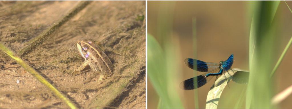 Beobachte Frösche und Libellen in ihrem Lebensraum