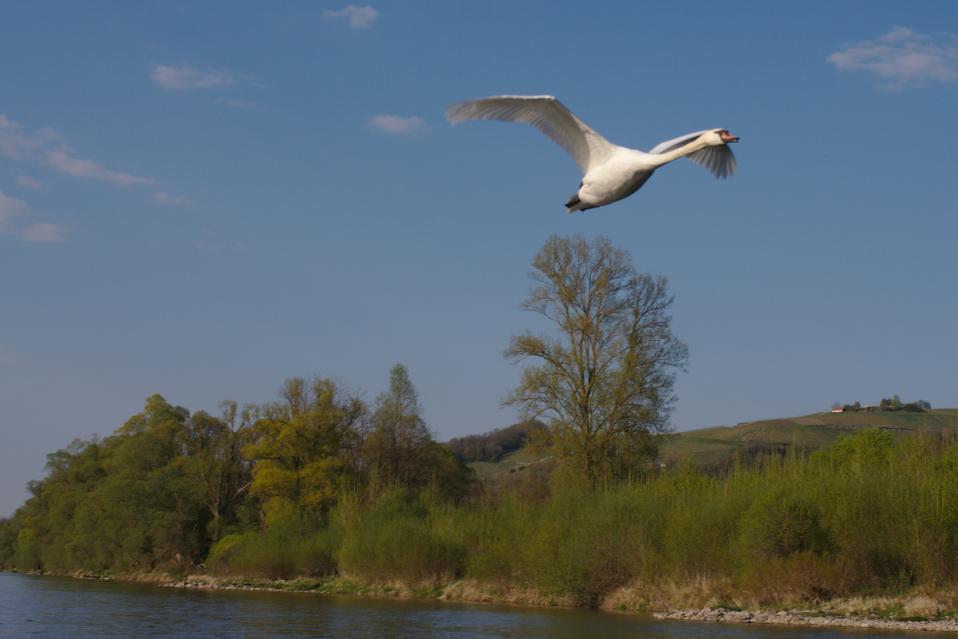 Ein Höckerschwan fliegt dicht an den Kanuten vorbei. Vogelbeobachtung hautnah.