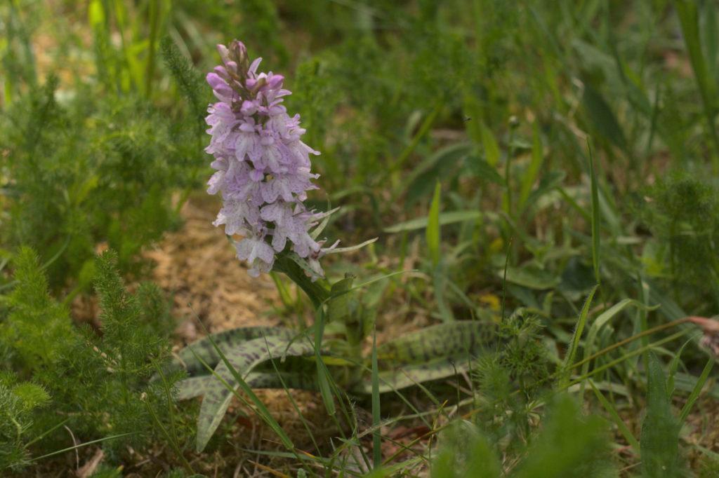 """Geflecktes Knabenkraut, gefunden bei einer Wanderung in die """"Urwälder der Zukunft"""" im Schwarzwald."""