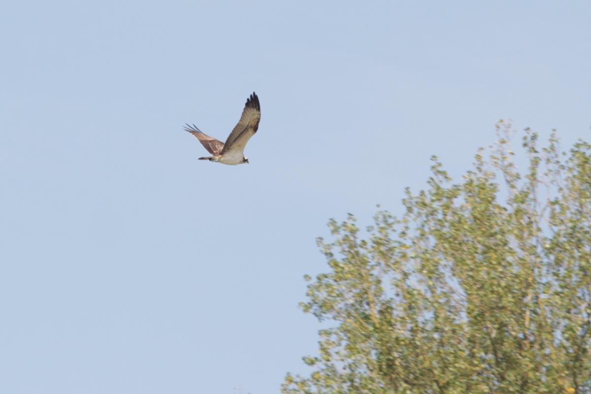 Ein Fischadler über dem Altrhein. Bei einer Kanutour am 6.9. sahen wir den Adler zum ersten mal.
