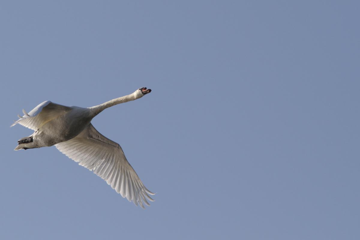 Ein Höckerschwan im Überflug bei einer Kanutour auf dem Altrhein im Dreiländereck
