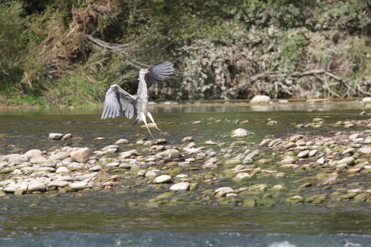 Ein Reiher zeigt beim Landeanflug Bein.