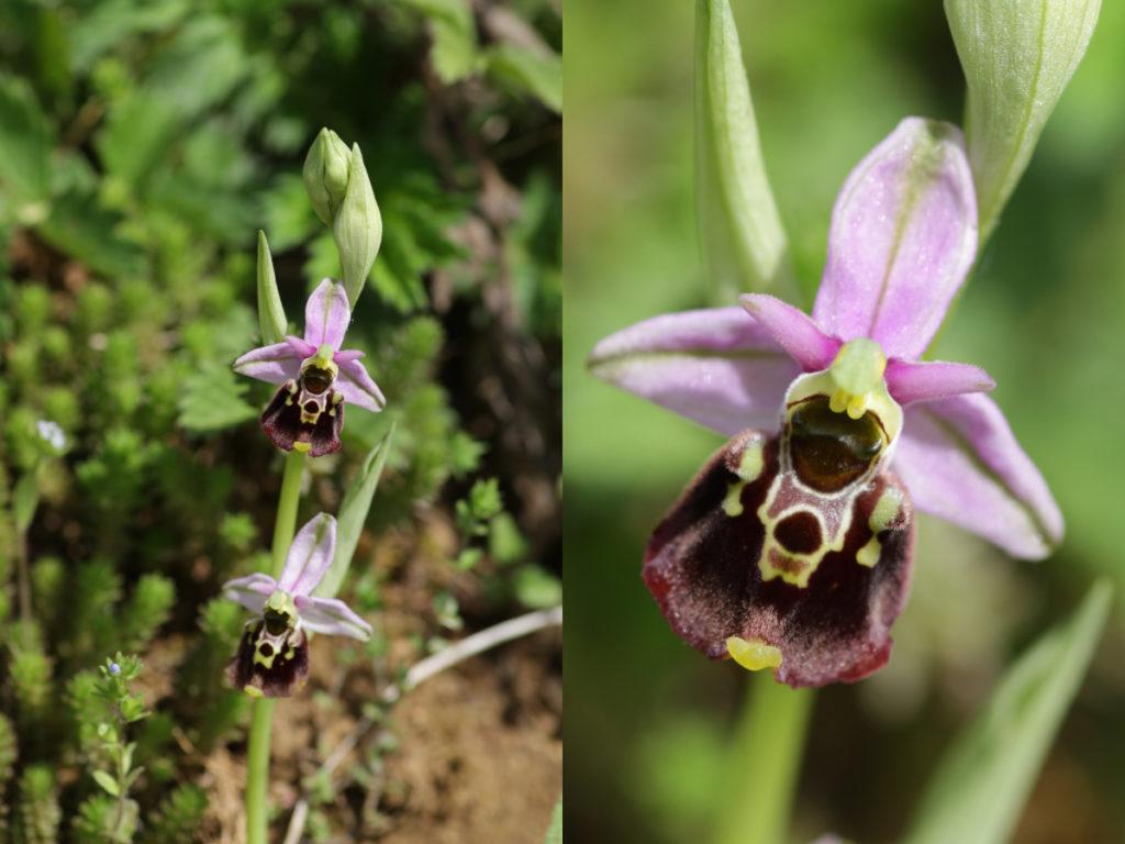 links eine Hummel-Ragwurz mit zwei Blüten, rechts eine Detailaufnahme der oberen Blüte.